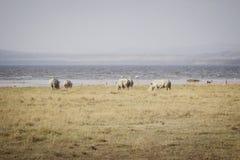 Stor betande noshörning 3 Royaltyfria Foton