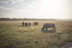 Stor betande noshörning 2 Arkivbild
