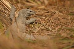 Stor bildskärmödla i Sundarbans i Indien arkivfoton