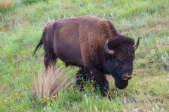 STOR bison royaltyfria foton