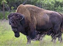 Stor bison i den Alaska sylten Arkivfoton