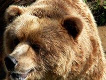 stor björn Fotografering för Bildbyråer
