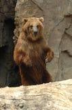 stor björn Royaltyfri Fotografi