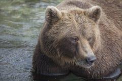 stor björn Arkivbilder