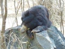 stor björn Arkivfoton