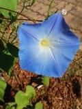 Stor blå blomma i den varma dagen fotografering för bildbyråer