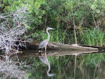 Stor blå hägerfågel vid flodkanten Arkivbilder
