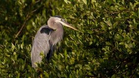 Stor blå Heron Fotografering för Bildbyråer