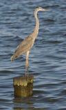 Stor blå Heron som plattforer på stapel Royaltyfria Bilder