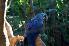 Stor blå talande munkhättapapegoja i zoo royaltyfri fotografi