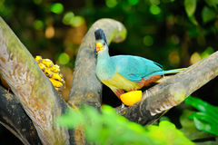 Stor blå Turaco Arkivfoton
