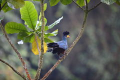 Stor blå Turaco Royaltyfria Foton