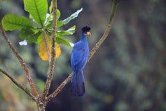 Stor blå Turaco Royaltyfria Bilder