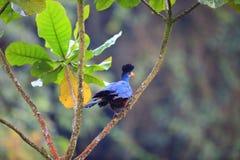 Stor blå Turaco Fotografering för Bildbyråer