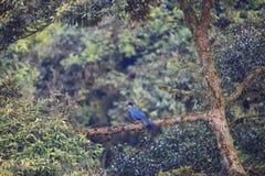 Stor blå Turaco Arkivbild