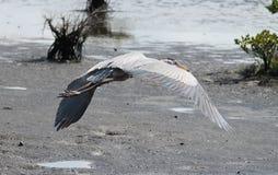Stor blåttheron i flyg Arkivfoto