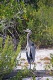 Stor blåttHeron på stranden Royaltyfria Bilder