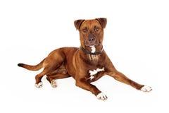 Stor blandad avelräddningsaktionhund Arkivfoton