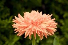 Stor blomma av calendulaen, närbild Arkivbilder