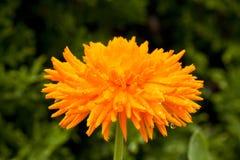Stor blomma av calendulaen, närbild Royaltyfri Fotografi