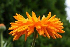 Stor blomma av calendulaen, närbild Royaltyfri Foto