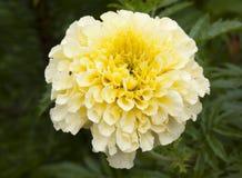 Stor blomma av ringblomman, närbild Royaltyfri Foto