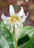 stor blommad blommawhite Royaltyfria Foton