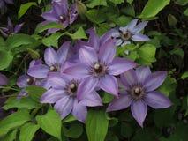 Stor-blommad jackmanii för klematisklematis x arkivfoton