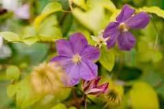 Stor-blommad klematis Härliga stora purpurfärgade klematiers blommar i trädgården royaltyfri bild