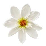 Stor blommadahlia Arkivfoto