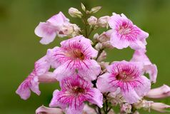 Stor blommaklunga av Pandorea Ricasoliana Royaltyfri Foto