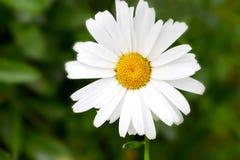 Stor blommanärbild för vit tusensköna på en grön bakgrund skrivbord Arkivfoto