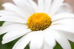 Stor blommanärbild för vit tusensköna Skrivbords- tapeter Arkivfoton
