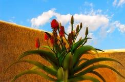 Stor blommande blomma av aloe vera och ljus himmel p? en solig dag fotografering för bildbyråer