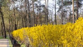 Stor blommande forsythiabuske som p? v?ren blommar tr?dg?rden arkivfoton