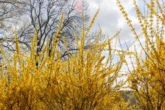 Stor blommande forsythiabuske som p? v?ren blommar tr?dg?rden royaltyfri foto