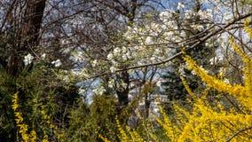Stor blommande forsythiabuske som p? v?ren blommar tr?dg?rden fotografering för bildbyråer