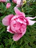 Stor blousy rosa pionblomning Royaltyfri Bild