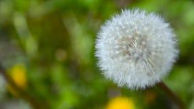 Stor Blowball i trädgården 1 stock video