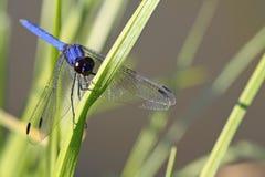 stor blue Arkivfoton