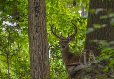 Stor bock i skogen royaltyfri foto