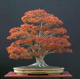 stor bonsaijapanlönn Arkivfoton