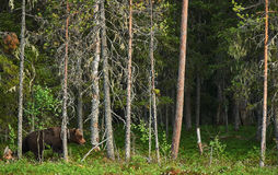 Stor Brown björn i skogen Royaltyfri Foto