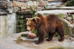 stor brown för björn Arkivbilder