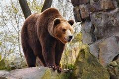 stor brown för björn Fotografering för Bildbyråer