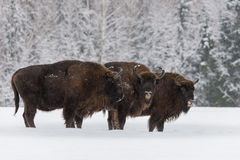 Stor brun Bison Wisent At Birch Forest bakgrund för tre Flock av den europeiska Aurochsbisonen, Bison Bonasus Standing On The seg Arkivfoto