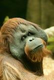 Stor brun Bornean orangutang Royaltyfria Bilder