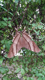 Stor brun fjäril Arkivbild