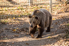 Stor brun grisslybjörn Royaltyfri Foto