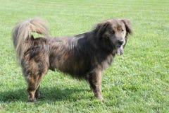 Stor brun hund med långt hår Arkivfoton